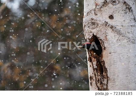 巣穴をリフォーム中のクマゲラのオス 72388185