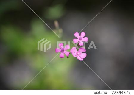 小さなピンクの可愛い花・サポナリア・アップ 72394377