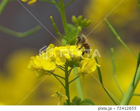 菜の花畑で一所懸命吸蜜するミツバチ 72412655