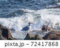 納沙布岬にいるカモメと荒波の風景がきれい 72417868