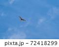 青空に猛禽類(ノスリ)が悠々と飛んでいる風景 72418299