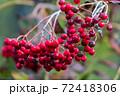 秋になって熟してきた真っ赤なナナカマドの実がきれい 72418306