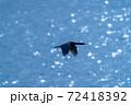 ウミウ(海鵜)がキラキラした海面を背景に飛行する 72418392