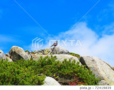夏の木曽駒ケ岳登山 石の上にいるホシガラス 72419839