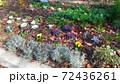 こじま花の会花畑のビオラと葉ボタンとシロタエギク 72436261