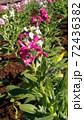 晩秋から正月の房総の代表花ストックの桃色と白色の花  72436382