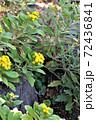 冬に咲くイソギク 72436841