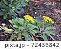 冬に咲くイソギク 72436842