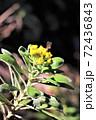 冬に咲くイソギク 72436843