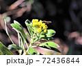 冬に咲くイソギク 72436844