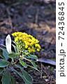 冬に咲くイソギク 72436845