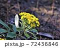 冬に咲くイソギク 72436846
