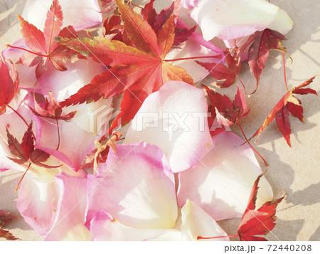 赤いモミジとピンクの薔薇の花びら 72440208