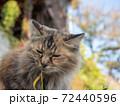毛がふさふさのきじとらの野良猫 72440596
