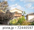 毛がふさふさのきじとらの野良猫 72440597