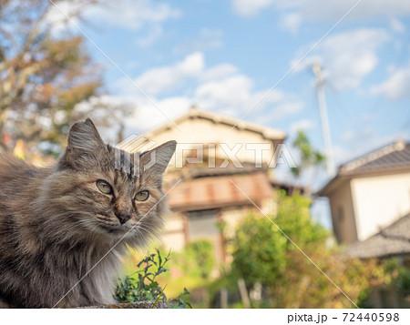 毛がふさふさのきじとらの野良猫 72440598