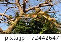 残り少なくなった紅葉した柿の葉 72442647