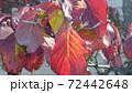 真っ赤に染まったハナミズキの紅葉 72442648