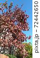 真っ赤に染まったハナミズキの紅葉 72442650