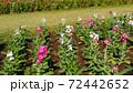 晩秋から正月の房総の代表花ストックの桃色と白色の花  72442652