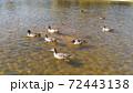 稲毛海浜公園の池に来た冬の割り鳥オナガガモ 72443138