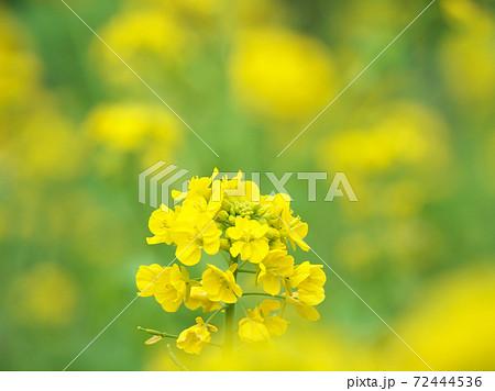 春の陽ざしが降り注ぐ満開の菜の花畑 72444536