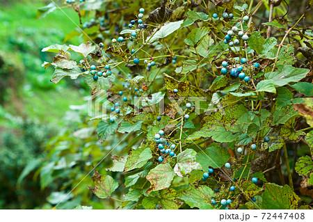 秋の美しい野生のコバルト色のノブドウ 72447408
