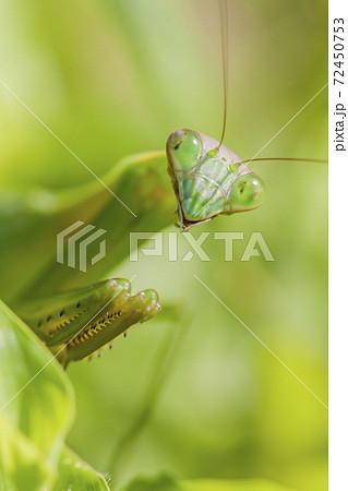 カマキリ 緑色のカマキリ 昆虫 カマキリの表情 72450753