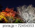 埼玉県 城峯公園の冬桜と紅葉 72454353