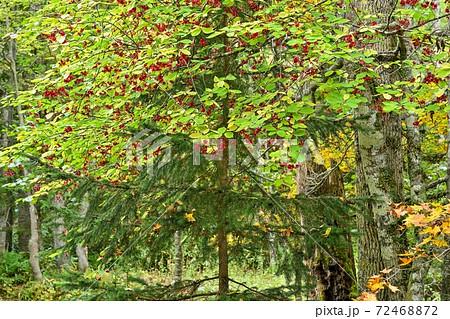 ノンノの森で見た真っ赤に色づいたツリバナナの実@北海道 72468872