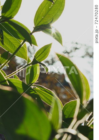 葉っぱの隙間から差し込む光の中の葉の縁の毛の輝き 72470280