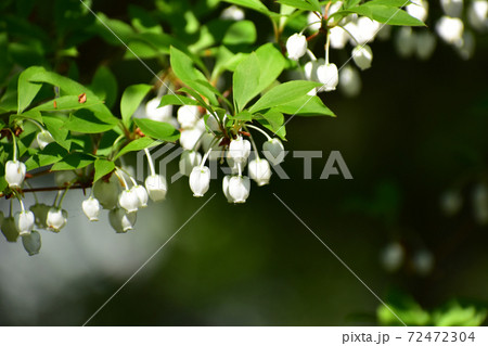 ドウダンツツジの小さい花 72472304