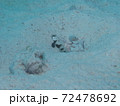 パラオの白と黒のギンガハゼ 72478692