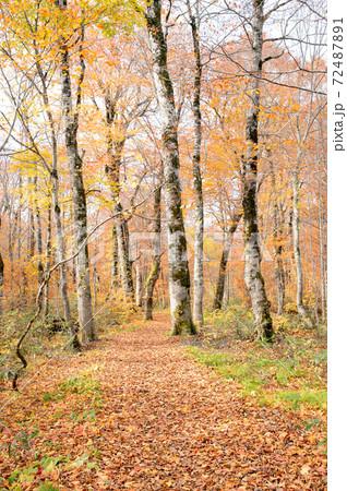 落ち葉で埋まった森の小道 秋田県 72487891