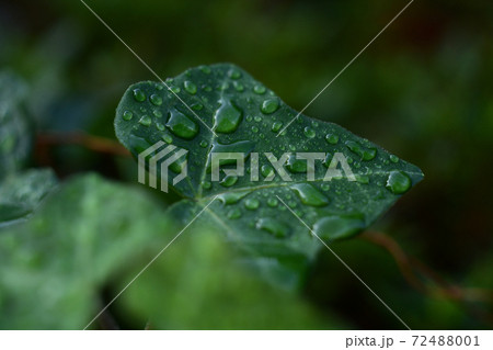 雨上がりに水滴が撥水している緑の葉のアップ 72488001