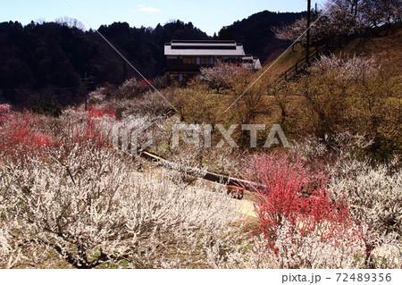 月ヶ瀬梅林(奈良県奈良市)梅の品種園の景観 72489356