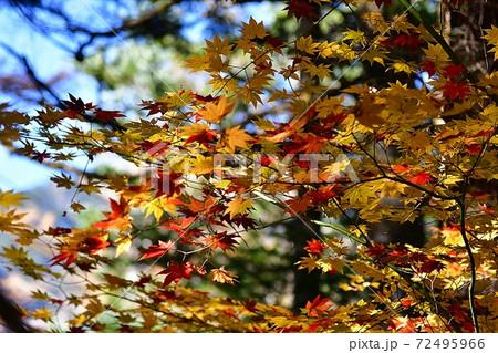 10月、秋が始まる上高地のもみじ 72495966