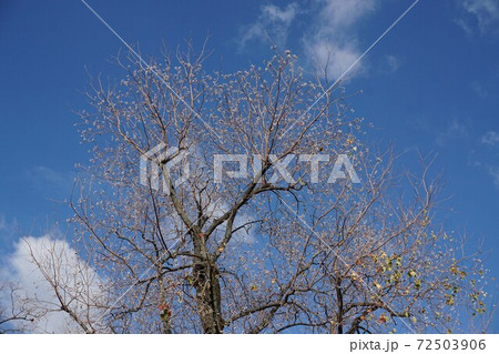 なんきんはぜの白い実が青空に映えて花が咲いた様 72503906