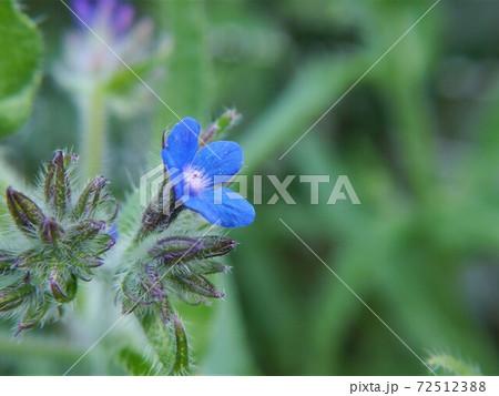 小さな青い花 72512388