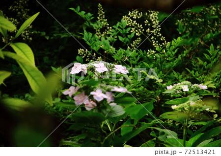 梅雨に咲く花ガクアジサイ、ピンク 72513421