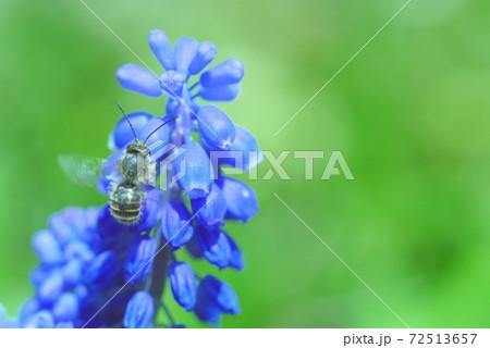 *ムスカリの蜜を吸うミツバチ 72513657