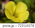 黄色い花~オキザリス・カタバミ~マクロ撮影 72514378