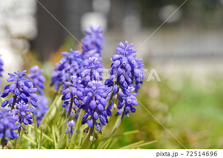 ムスカリ~春の花・球根多年草 72514696