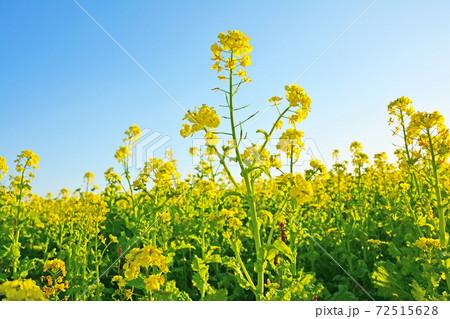 青空と畑に咲くアブラナ科の黄色い菜の花 72515628