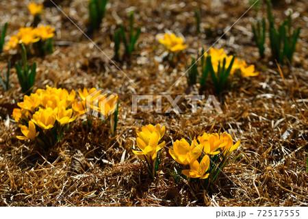 早春のアンデルセン公園に咲いたサフラン 72517555