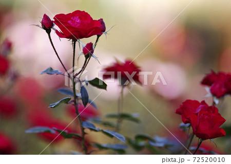 寒さに耐えて美しさを競う秋バラの花 72520010