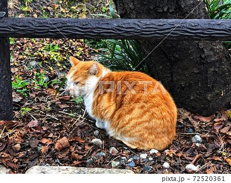 落ち葉が広がる樹木の根本で一匹の茶色い三毛猫が丸くなっている野良猫のいる風景 72520361