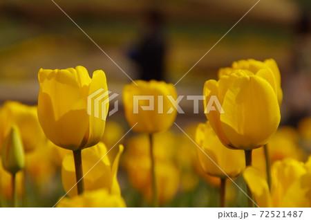 春爛漫に金色に輝くように咲く黄色いチューリップの花弁 72521487