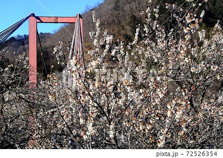 月ヶ瀬(奈良県奈良市)八幡橋に咲く梅の花 72526354