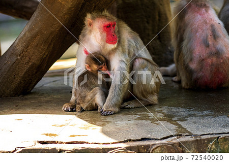 猿山で母親の乳房を吸う日本猿の赤ちゃん 72540020